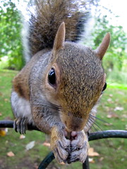 Balancing Act (emdee314) Tags: park fence fur squirrel feed nut paws