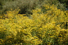 "Sea of Goldenrod <a style=""margin-left:10px; font-size:0.8em;"" href=""http://www.flickr.com/photos/91915217@N00/4997799450/"" target=""_blank"">@flickr</a>"