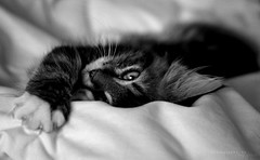 Sweet Dreams (Amy~~Adams) Tags: sleeping rescue cat kitten sweet tabby fluffy spot stretching longhaired fostered