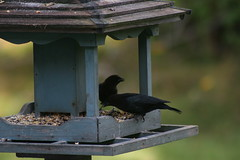 ontario stirling brownheadedcowbird