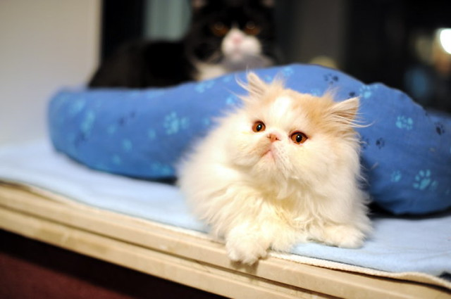 cute persian kitten pic
