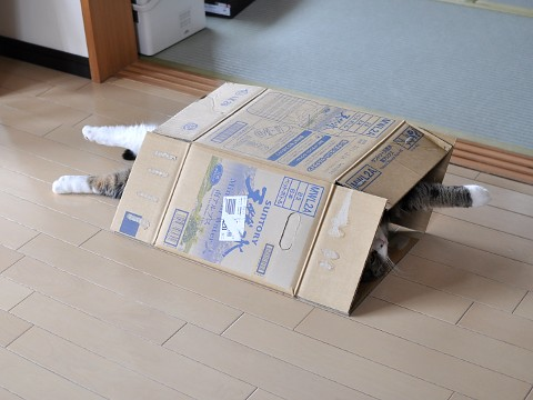 cute maru the cat playing with a box