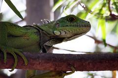iguana (megavas) Tags: naturaleza animal colombia huila neiva megavas