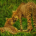 cheetah kiss LDR