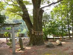 林野神社(ケヤキ)