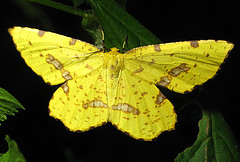 Bright Moth (zxgirl) Tags: yellow bug insect md bright flash greatfalls moth maryland insects bugs lepidoptera moths geometridae ennominae arthropods arthropoda s5 arthropod insecta xanthotype img0603 yellowmoth geometridmoths geometroidea angeronini