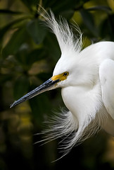 Snowy Egret (dbullens) Tags: birds canon google florida bokeh ngc windy egret snowyegret tavernier specanimal mywinners