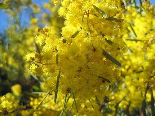 Wattle (acacia)
