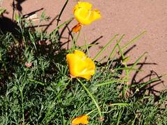 USA, San Francisco (balavenise) Tags: sanfrancisco usa flower fleur cit poppy californianpoppy ville jauneetvert amarilloverde