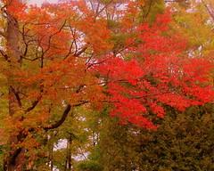 Looking up / Autumn colors (**Ms Judi**) Tags: life trees tree fall colors beautiful beauty leaves wisconsin branches lookingup autumncolors msjudi peshtigowisconsin judistevenson judippc photographybymsjudi