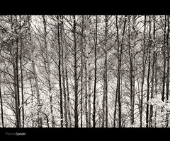 20100919_D3_0029-30.jpg (thomasps) Tags: autumn trees wild blackandwhite bw plants mountain canada fall nature ecology leaves yellow america forest sunrise blackwhite leaf high scenery seasons foliage land backcountry environment aspens rockymountains concept wilderness grayscale conceptual aspen environmentalism westernprovince indiansummer ecosystem highaltitude concepts kananaskiscountry canadianrockies westerncanada dominantcolor dominantcolour