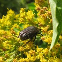 Afternoon snack (Meredith M!) Tags: flower macro beetle euphoria picnik dilo praire coleoptera scarabaeidae dilosep10