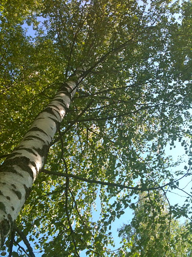 Under the birches