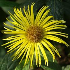 Dewstow Yellow Sun (expatscot) Tags: uk sun flower macro yellow wales pretty olympus petal gb sunburst monmouthshire e510 35mmf35 dewstow olympuse510 cladicot dewstowgardensandgrotto