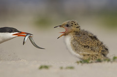 Come and get it! (Lisa Franceski) Tags: fish beach nature blog feeding wildlife shorebirds commontern sternahirundo sandeel naturesbestphotographymagazine sigma120400mm juvenilecommontern naturesbestphotographyblog canont2i lisafranceski sigma50th