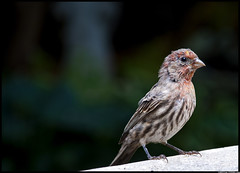 House Finch (Christian Stepien.com) Tags: autumn house ontario canada bird fall nature animal project nikon wildlife september christian finch mississauga 2010 dagobah meadowvale stepien d40x