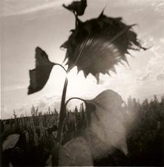 debonair Tournesol 1 (joel lintz) Tags: bw sun white black flower 120 fleur soleil noir fuji 4x4 nb diana alsace sunflower neopan clone et blanc tournesol acros debonair clône