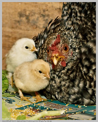 Ninhada (Nightgoose) Tags: chicken galinha litter chicks hen canonef1740mmf4lusm brood pintos ninhada nightgoose alexmsouza