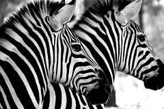 CEBRAS (ángel mateo) Tags: ángelmartínmateo cebra blancoynegro rayas hocico zebra stripesojo orejas pelo ángelmateo blackandwhite monocromo monochrome