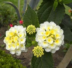 Flres blancas diminutas (Anrubjc) Tags: blancas flres diminutas