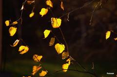 Last bits of Yellow (Rebeak) Tags: bej cherryontopphotography naturescarousel
