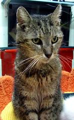 Mr. Purrbody (Kurt Faler) Tags: friends rescue cat kitten kitty center felines ffrc friendsoffelinesrescuecenter kwfffrcsss01