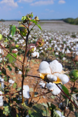 King Cotton.