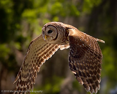 Barred Owl Fly Bye (Michael Pancier Photography) Tags: owl birdsinflight barredowl floridabirds specanimal joeoverstreetroad michaelapancier wwwmichaelpancierphotographycom miamibasedphotographer fineartsphotographer naturephotograper bigchiefosceola img47
