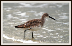 What am I? (blmiers2) Tags: ocean usa bird nature geotagged nikon florida daytona willet blm18 blmiers2