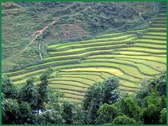 Rice terraces in Sapa, Viet Nam (LarrynJill) Tags: travel vacation mountains asia rice farm terraces vietnam picnik sapa 2010