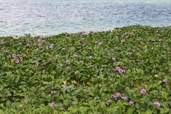 okinawa16 (mari.bleu) Tags: flower okinawa 花 沖縄 海 海洋博公園 エメラルドビーチ