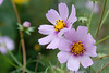 Happy Anniversary (A Great Capture) Tags: flowers autumn green fall mom happy october dad purple anniversary cosmos ald ash2276 ashleyduffus ©ald ashleysphotographycom ashleysphotoscom ashleylduffus wwwashleysphotoscom