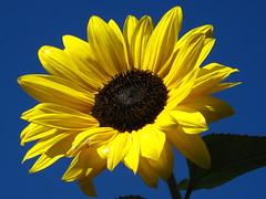 Sunflower blues (ToJoLa) Tags: canon sunflower 2010 zonnebloem canong10