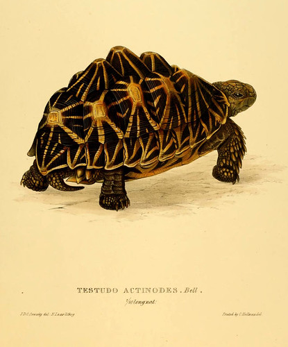 001-Testudo Actinodes Bell-Tortoises terrapins and turtles..1872-James Sowerby
