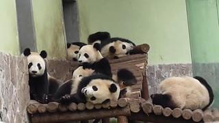 expo pandas - Love that last wink!