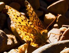 Butterfly (ssilberman) Tags: butterfly september grandteton 2010 grandtetonnationalpark