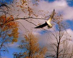 Lonely Seagull (**Ms Judi**) Tags: trees cloud tree bird fall love leaves clouds freedom golden wings peace seagull gull branches free peaceful bluesky serene lovely godscountry godsgift msjudi judistevenson judippc autumnflight photographybymsjudi