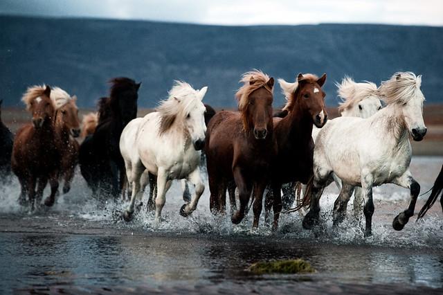 Herd_In_Iceland-20481