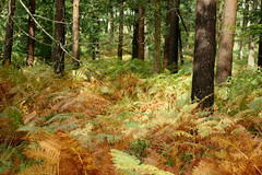 Autumnal shades (SteveJM2009) Tags: uk autumn trees light colour forest nationalpark october hampshire bracken ferns newforest 2010 stevemaskell bolderwood hants