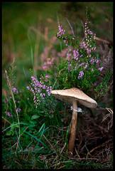 Mr. Mushroom (grrrrrrrrrrrrrrrrrrrrrrrrrrreg) Tags: pink brown green nature mushroom natur magenta rosa grn braun pilz