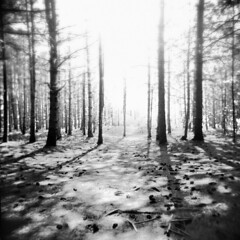 Ground Zero (LowerDarnley) Tags: trees sun holga woods overexposure spruce pinecones 120s