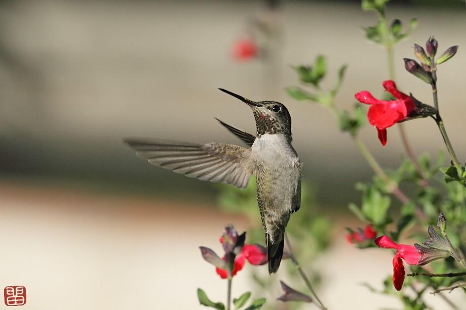 Anna's Hummingbird 10101