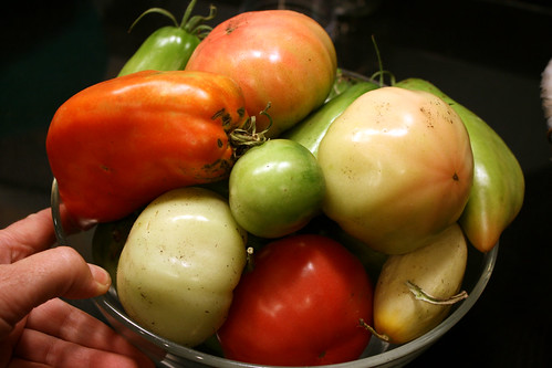 harvest of tomatoes
