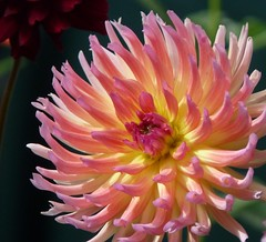 Flame (trek22 (on the road...)) Tags: dahlia flowers flower nature flora micro bloom beautifulflowers simplythebest floralfantasy trek22 excellentflowers spiritofphotography  unforgettableflowers exquisitelygorgeousflowers elisfavoriteflowers cactiandflowers blueribbonblossoms excellentmacroflowers