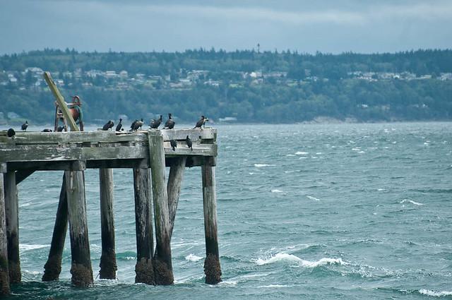 Double-breasted Cormorants (Phalacrocorax auritus)