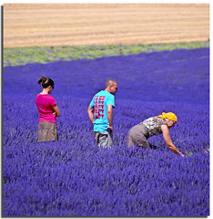 Between scents and colors (Nespyxel) Tags: people france flower colors field violet lavender campo provence viola lavande scents provenza lavanda profumo flowerscape valensole nespyxel stefanoscarselli pleasedontusethisimageonwebsites blogsorothermediawithoutmyexplicitpermissionallrightsreserved