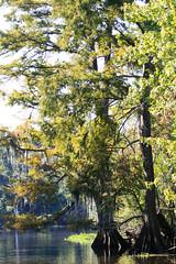 Cypress Trees (ccharmon) Tags: october neworleans bayou swamp cypresstrees 2010 cajunswamptour