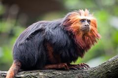 2010-10-14-13h10m23.272P7228 (A.J. Haverkamp) Tags: zoo thenetherlands apenheul apeldoorn dierentuin goudkopleeuwaapje goldenheadedliontamarin httpwwwapenheulnl canonef100400mmf4556lisusmlens