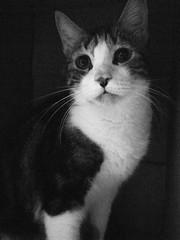 Banban in the cardboard box (Chrischang) Tags: pet monochrome animal cat 猫 貓 lightroom banban grd3