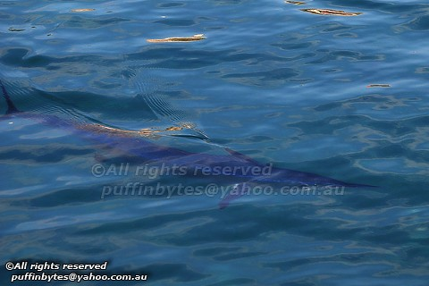 Mediterranean Spearfish - Tetrapturus belone